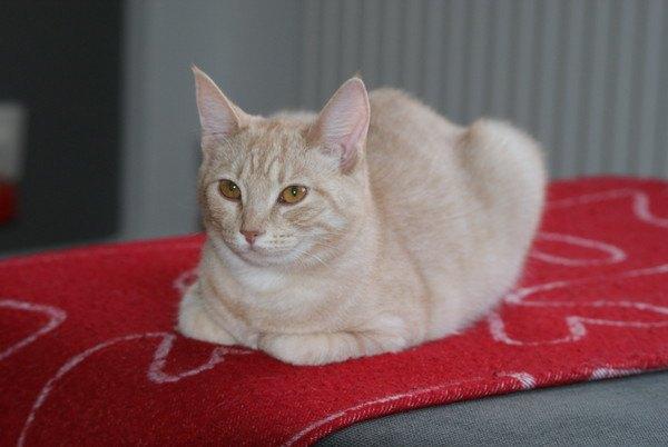 赤いカーペットの上で香箱座りをする猫