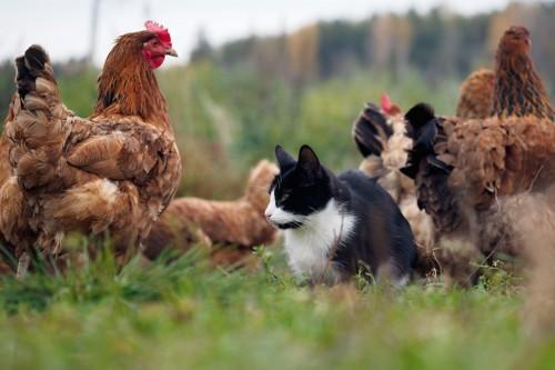 鶏の群れの中に座る猫