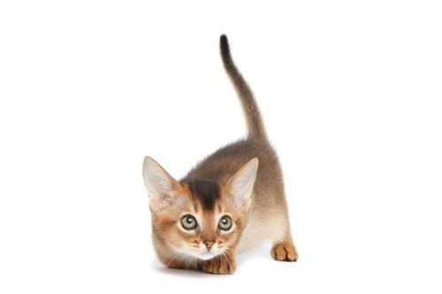 しっぽを立てる子猫