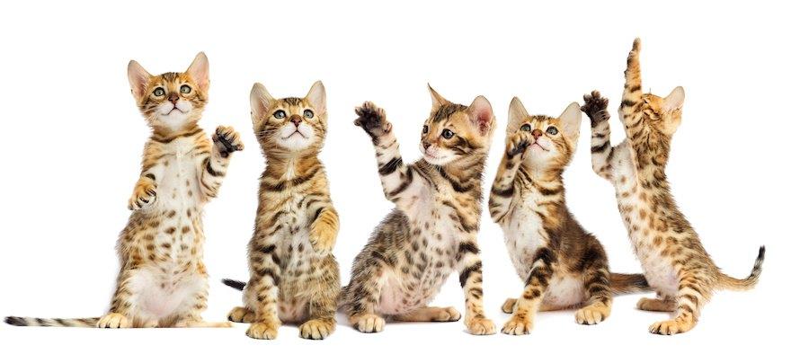 立ち上がって遊ぶベンガルの子猫たち