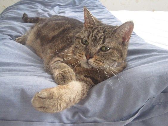 手を前に出してベッドで横たわる猫