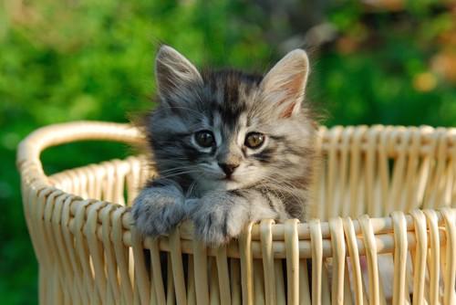 バスケットのふちに手をかけて見つめる子猫