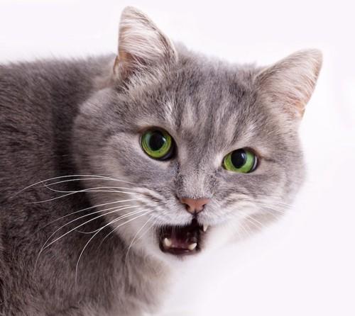 口を開けている猫