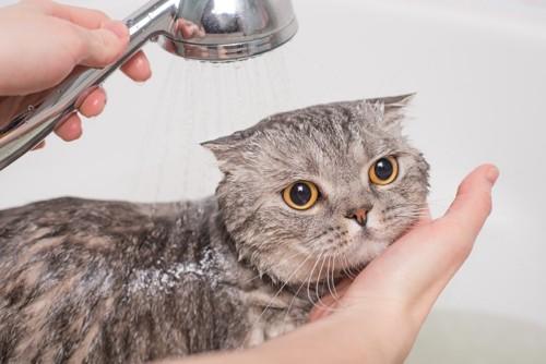 シャワーを浴びている猫