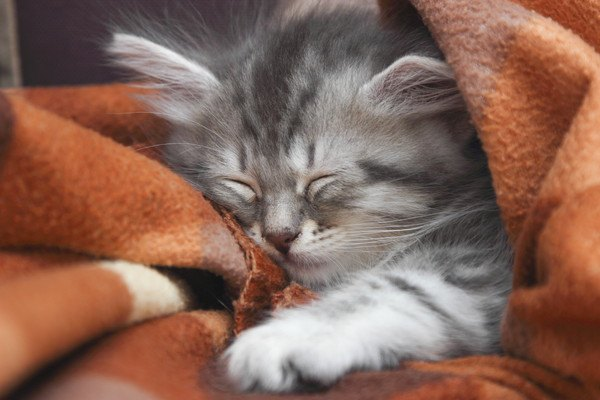 毛布の中で眠る子猫