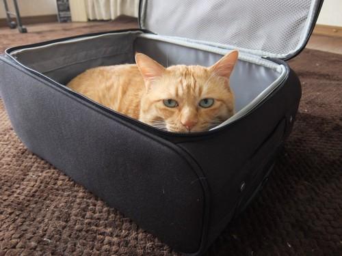 スーツケースで遊ぶ猫