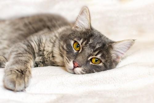 毛布の上で横たわる猫