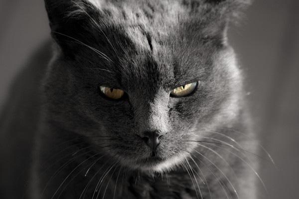 半目で見るグレーの猫