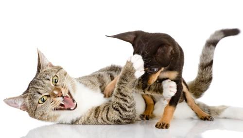 寝転んで子犬とじゃれている猫