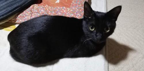 毛づやの良い黒猫