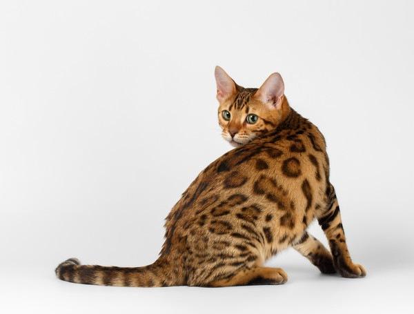 振り返り尻尾を見せる猫