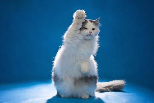 手をあげる勇ましい猫