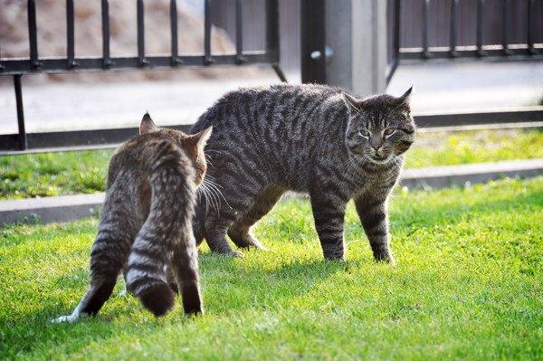 喧嘩で向かい合っている猫