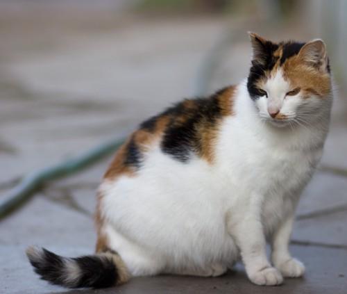 妊娠している猫