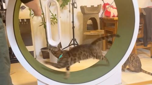 回し車に乗る緑色の首輪の猫