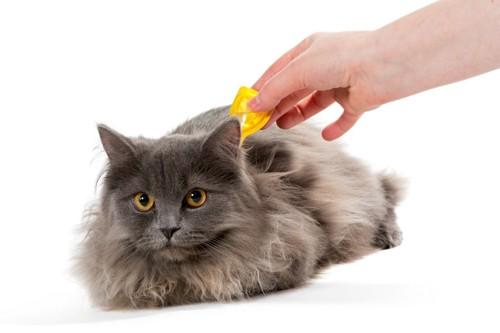 ノミ、ダニ駆除薬を投与される猫