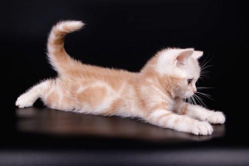 両手足を伸ばして遊ぶアメリカンショートヘアの子猫