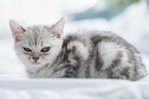 睨んでいるような表情のアメショーの子猫