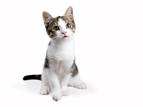座っているヨーロピアンショートヘアの子猫