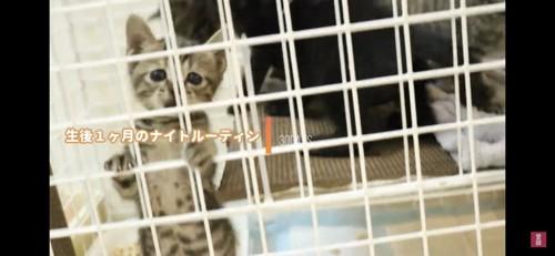 ケージ越しの子猫