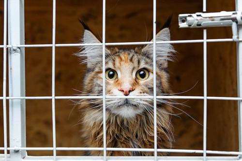 ケージの中からこちらを見つめる猫