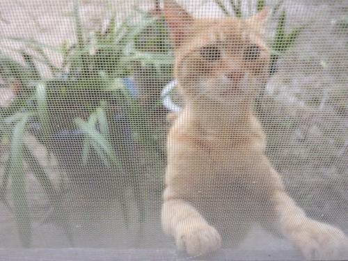 網戸越しの猫