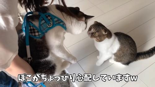 ハーネスをつけた猫とおすわりする猫