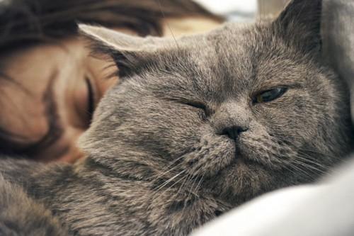 女性の顔の前で寝るグレーの猫