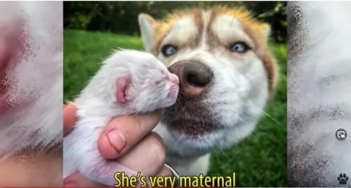 子猫に顔を寄せるハスキー犬