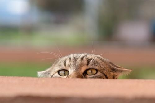 顔を半分出して耳を倒している猫