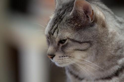 寂しげな表情の猫の横顔