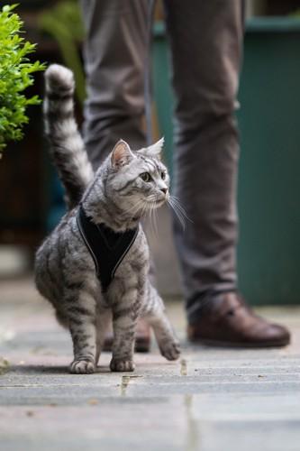 ハーネスをして街を散歩する猫