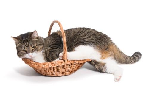 体より小さなバスケットに入ろうとする猫