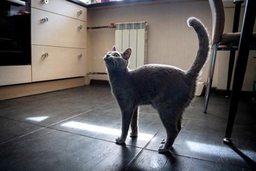 しっぽを上げる猫