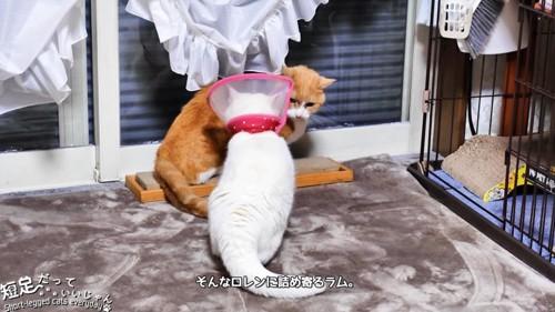茶白猫の前に立つ白猫