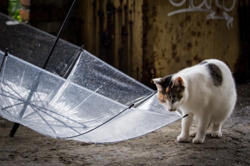 傘が気になる猫