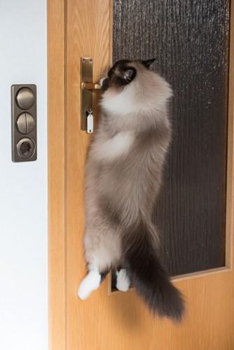 ドアのレバーにぶら下がる猫