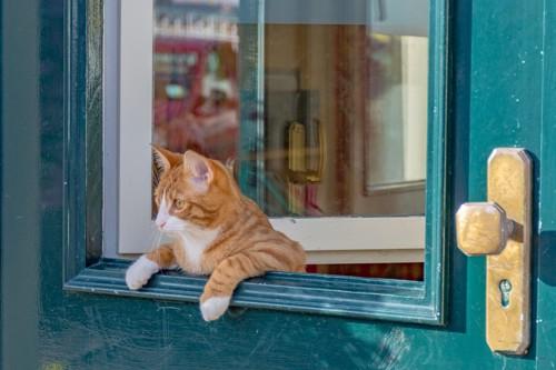 窓から顔を出す猫