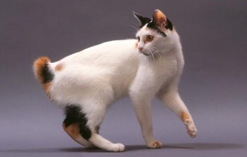 しっぽの短い三毛猫