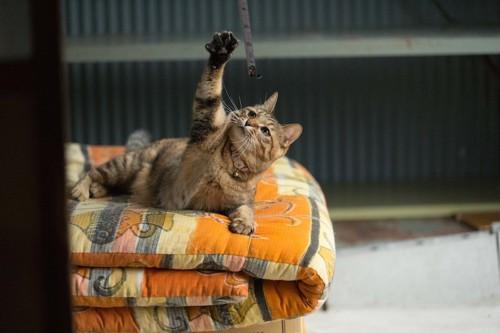 畳んだ布団の上で遊ぶ猫