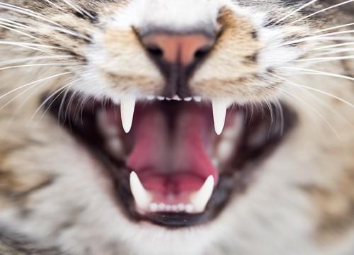 口を開けた猫の牙アップ