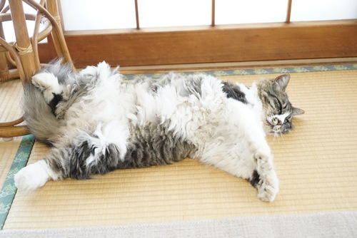 畳で寝る猫