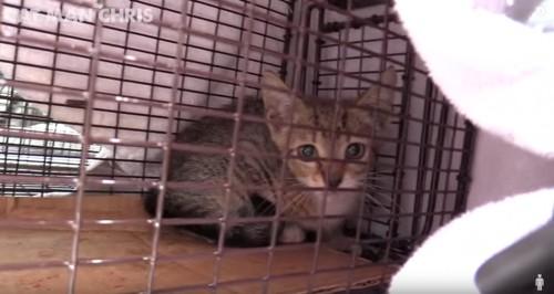 捕獲器の中の子猫