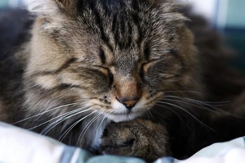 眠っているノルウェージャンフォレストキャット