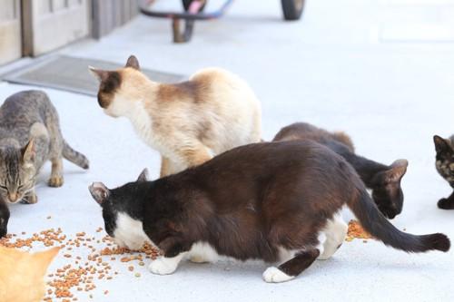 食事をしてる猫たち