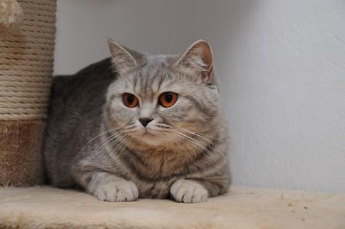 キャットタワーにいる縞猫
