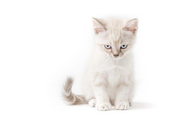 白い背景でにらむ子猫