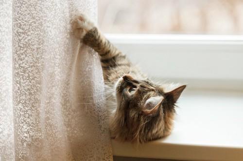 カーテンに上る猫