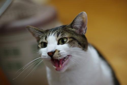 口を開けて鳴く猫