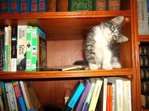 本棚を探検する猫